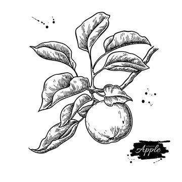 Apple vector drawing. Hand drawn tree branch with fruit and leaves. Summer food engraved style illustration.