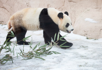 Giant Panda. It is a mammal of the bear family with black and white fur. It is found only in the mountain forests of several Western provinces of China.
