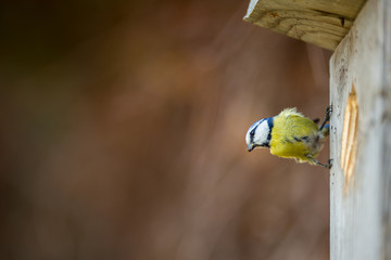 Blue tit Parus caeruleus on a bird house it inhabits - feeding the young. Shallow depth of field and background blurred