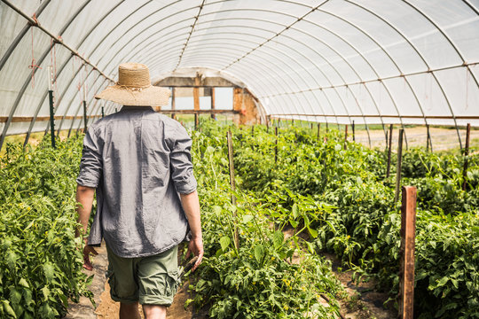 Farmer with hat walking through greenhouse chekcing on the tomato plants. Laurel, Montana, USA