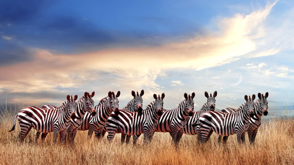 Wall Mural - Group of zebras in the African savanna against the beautiful sunset with clouds. Serengeti National Park. Tanzania. Africa.