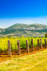 Vineyard plantation, mountain in background, sunny summer day, countryside landscape, Dalmatian inland, Croatia