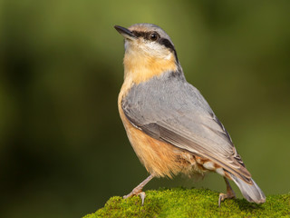 Nuthatch (Sitta europaea) Eurasian nuthatch bird perching on a branch, close up bird photo with blurry background, common wood and garden bird with orange breast and grey back