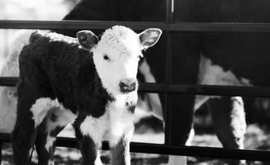 Wall Mural - Hereford calf close up on cow farm in black and white.