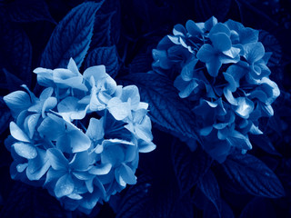 Hydrangea macrophylla is a beautiful bush of pink and white hydrangea macrophylla flowers that bloom in the garden in summer. Blue Creative Tinting. Trend color classic blue. Color of 2020.