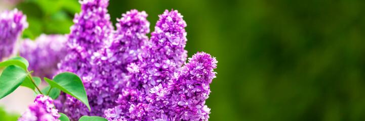 Poster Bloemen Purple lilac flowers in garden