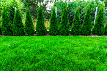 Green grass with thuja trees Wall mural