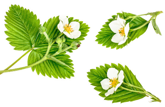 Flowers strawberry with green leaves isolated on white