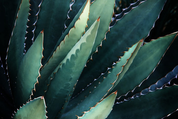 Thorncrest Century Agave Plant In Dark Blue Green Tone Color Natural Abstract Pattern Background Wall mural