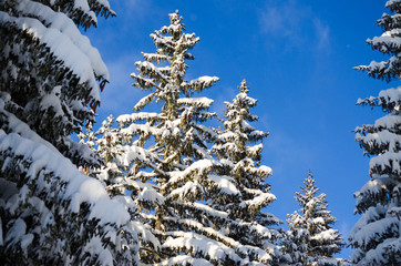 Beautiful Winter Landscape in Mountain. Forest with trees in snow on sunny winter day. View of snowy forest. Pine trees covered with ice and snow in february.