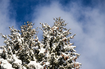 Forest and trees covered with snow on sunny winter day. Amazing Winter Landscape on Mountain. Scenic View Of Snowy Forest in february. Pine trees. Weather