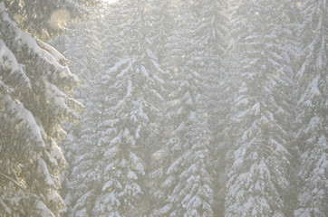 Snow falls in front of sunlight. Snowflakes in the Forest. Snow covered pine trees in mountain during winter. Snowy morning in nature. Falling snowflakes. Snow background. Beautiful landscape.