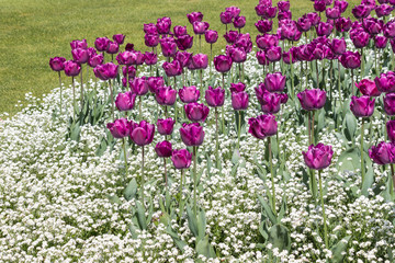 closeup of purple tulips with white tiny flowers growing in park