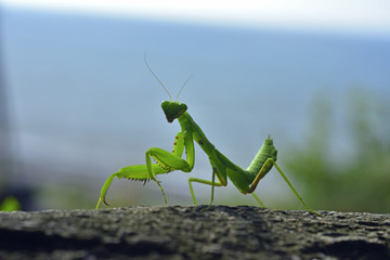 Close up of the Praying Mantis