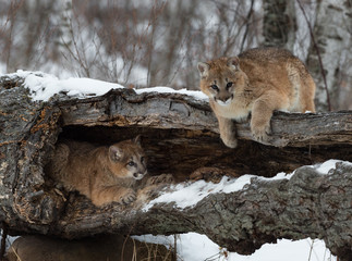 Deurstickers Puma Female Cougars (Puma concolor) Hang Out In and On Log Winter