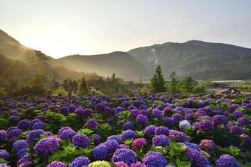 Hydrangea flower field in Beitou