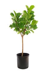 Potted Ficus Larata Isolated on White