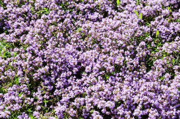Flowers of Thymus serpyllum. Breckland wild thyme on meadow. Creeping thyme flowering in grassland. Aromatic and healthy Backtimjan Elfin thyme on a meadow. Collecting herbs for tea and medicine