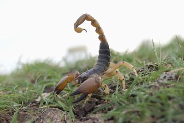 Indian red scorpion (Hottentotta tamulus)