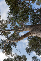Trunk and canopy of gum tree Eucalyptus.
