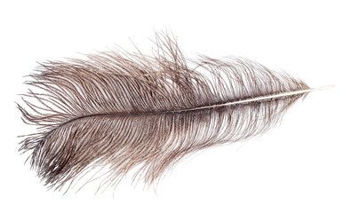 brown ostrich feather isolated on white