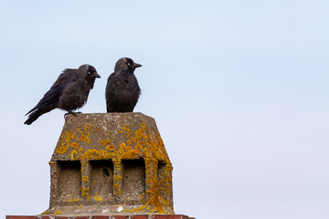 Western Jackdaws (Coloeus monedula) sitting on a roof on Juist, East Frisian Islands, Germany.