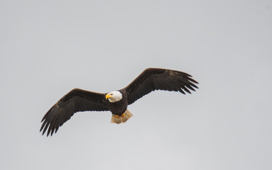 A picture of a bald eagle flying in the air.   Vancouver BC Canada