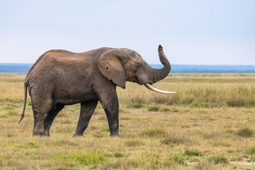Foto op Canvas Olifant An old elephant walking in the savannah in Africa, beautiful animal in the Amboseli park in Kenya