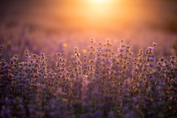Aluminium Prints Light pink Lavender flowers at sunset in a soft focus, pastel colors and blur background.