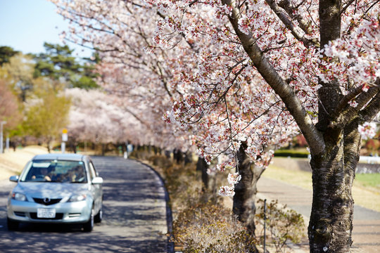 A car driving on cherry blossom road