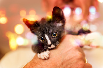 Young kitten on hands of man
