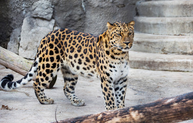 Amur leopard. This is a predatory mammal from the cat family. Unique species under threat of extinction.