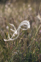 One stick of Stipa capillata rare plant as known as feather, needle, spear grass in steppe region . Macro photo. Cappadocia, Turkey