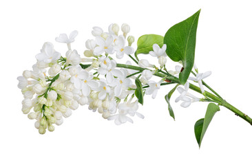 Foto auf Leinwand Flieder isolated pure white lilac with green small leaves