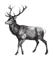 Red deer (Cervus Elaphus) / vintage illustration from Brockhaus Konversations-Lexikon 1908