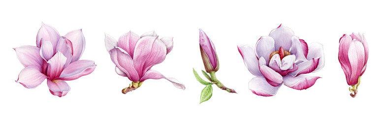 Magnolia flower arrangement watercolor painted illustration set. Hand drawn lush spring bud and blossom in the full bloom. Magnolia paint charming lush flowers isolated on the white background.
