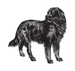 Newfoundland dog / vintage illustration from Brockhaus Konversations-Lexikon 1908