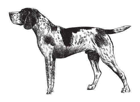 German Shorthaired Pointer / vintage illustration from Brockhaus Konversations-Lexikon 1908