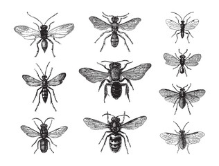 Wasp and bee collection / vintage illustration from Brockhaus Konversations-Lexikon 1908