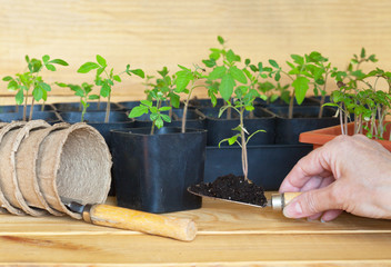 Growing tomato seedlings. Female hand holds a scoop with a young tomato shoot for transplanting into a separate pot. Peat pots for seedlings lie nearby