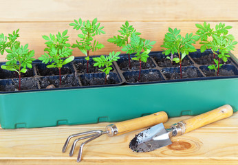 Spring garden work. Growing seedlings of Marigold flowers in a seedling box and scoop with rake on a wooden table