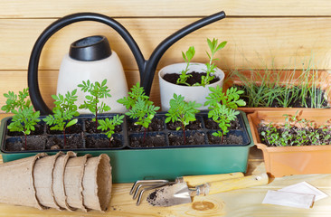 Spring garden work. Growing seedlings of flowers. Marigold sprouts in a seedling box, tools, watering can and sachets of seeds on a wooden table