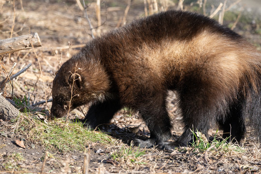 wolverine is tracking a scent