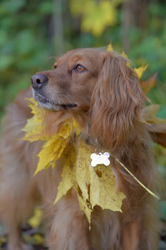 spaniel with autumn maple leaves