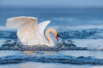 Foto op Plexiglas Zwaan Mute swan flapping wings