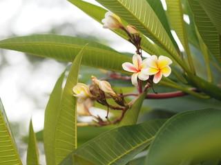 Frangipani, Plumeria, Temple, Graveyard Tree white flower on blurred of nature background