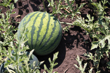 A large watermelon in the garden, a bright summer green picture