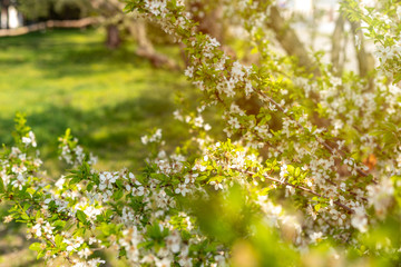 Beautiful tender tree blossom in sunny light, floral background, spring blooming flowers.