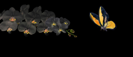 Photo sur Toile Orchidée yellow butterfly and black orchid