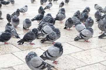 Pigeons in the snow. Flock of Pigeon in the city on cold winter day. Group of pigeons on the street during heavy snow. Snow fall makes life harder for birds in town. Animals.Pigeon freezes in blizzard
